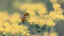 Honey Bee collecting nectar and pollen on yellow flowers on the field. Close-up, macro. Beautiful nature wallpaper with space for text.