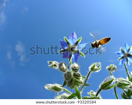 honey bee collecting nectar from a borage's flower. Macro image