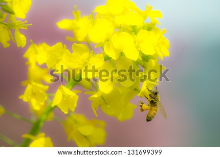Honey bee collecting nectar from a Rape blossoms, And she attached heart-shaped pollen on her legs / heart-shaped pollen /spring time