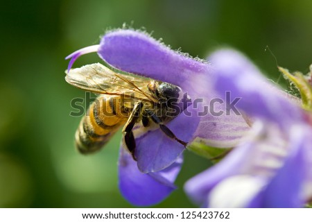 honey bee collecting nectar from a sage flower. Macro image
