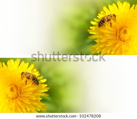 Honey bee collecting nectar from dandelion flower in the summer time. Useful photo set for design or web banner.