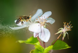 honey bee collecting pollen grains