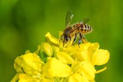 Honey Bee collecting pollen on yellow  flower.