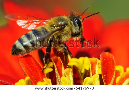 honey bee collects flower nectar #64176970