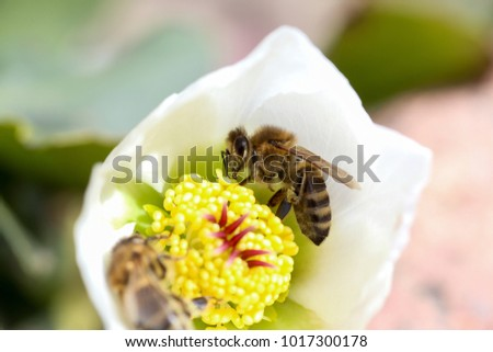 Honey bee collects nectar and pollen in early spring from hellebore, hellebores, Helleborus flowering plants in the family Ranunculaceae. Pistils and stamens of a flower close-up #1017300178