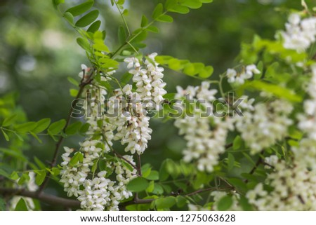 Honey bee collects nectar from white flowers tree acacia. Blooming clusters of acacia. Honey spring plant. Collect nectar. Branches of black locust, Robinia pseudoacacia, false acacia. Closeup, macro.