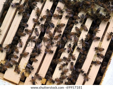 Honey Bee Colony: bees gathered on top of a wooden hive box.