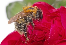 Honey Bee covered in Pollen, while collecting from a vibrant red hollyhock flower