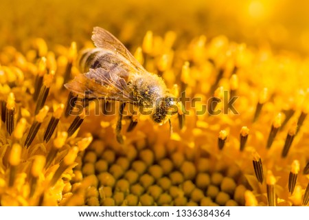Honey bee covered with yellow pollen collecting sunflower nectar. Animal sitting at summer sun flower and collect for important environment ecology sustainability. Awareness of nature climate change