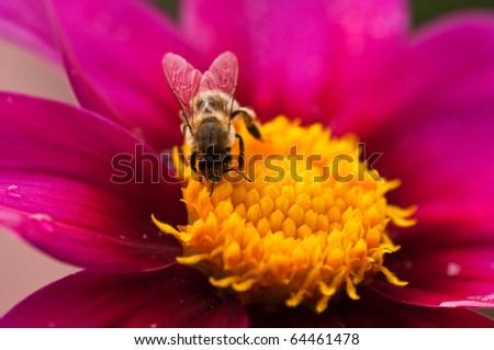 honey bee diving in the dalia flower