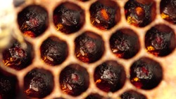 Honey bee eggs macro. A queen forms a new colony by laying eggs within each cell inside a honeycomb. Beekeeping (or apiculture). Bee colony in hive