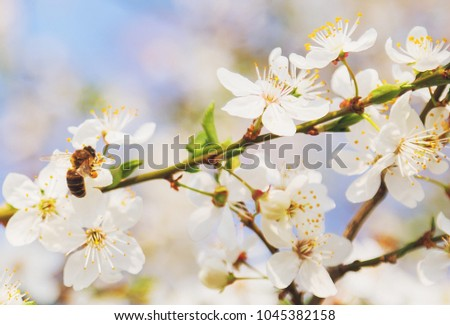 Honey bee flying to the White blooming flowers, cherry blossoms - Spring abstract scenes.