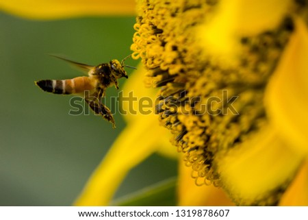 Honey bee flying towards the sunflower for collecting nectar and pollen  with pollen dust on its full face. close up high speed macro  photography.