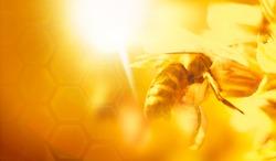 honey bee gathering  nectar  background
