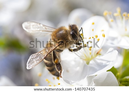 Honey Bee harvesting pollen from Cherry Blossom