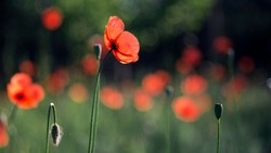Honey bee in flight.Picturesque May contrasts.Creating a mood.In the garden blossom poppies.A delicate flower.Poppy buds blossom.A bright red poppy, attracts bees.Textured, close-up poppy freshness.