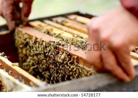 Honey bee in its honeycomb