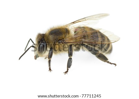 Honey bee  isolated on the white background