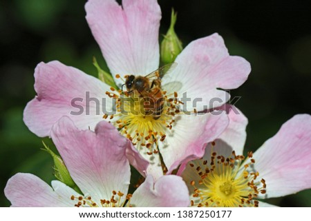honey bee on a dog rose or wild rose in bloom in springtime in Italy Latin rosa canina and similar to a sweet briar also called eglantine state flower or state symbol of Iowa and North Dakota #1387250177