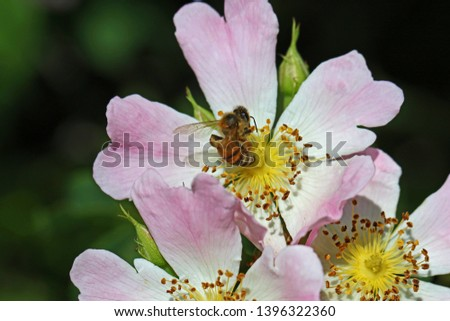 honey bee on a dog rose or wild rose in bloom in springtime in Italy Latin rosa canina and similar to a sweet briar also called eglantine state flower or state symbol of Iowa and North Dakota #1396322360