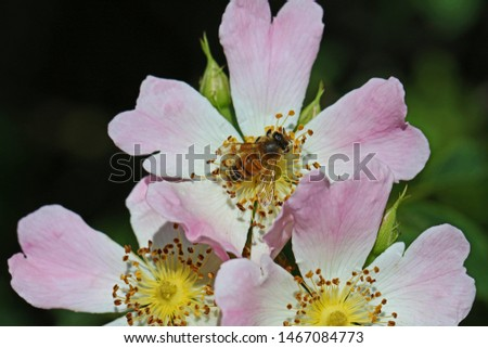 honey bee on a prairie rose or wild rose in bloom in springtime in Italy Latin rosa canina and similar to a sweet briar also called eglantine state flower or state symbol of Iowa and North Dakota #1467084773