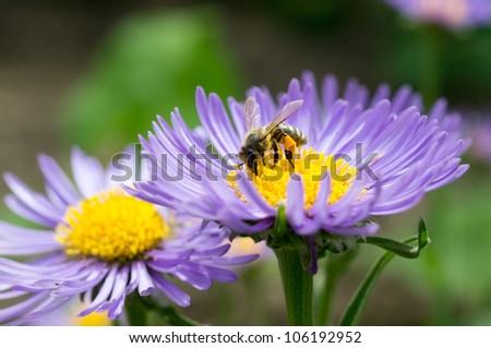 Honey bee on blue aster - stock photo