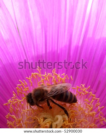 Honey Bee on Hottentot Fig