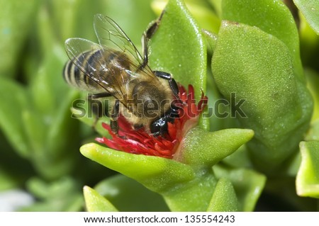 Honey bee on small red flower