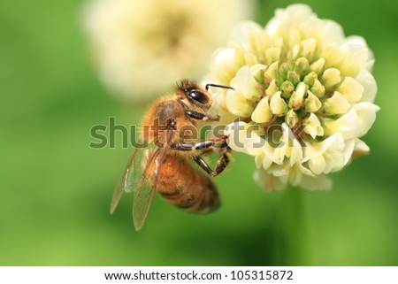 Honey bee on the clover flower in the green field. Foto stock ©