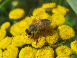 Honey bee on the common tansy yellow flowers (Tanacetum vulgare), Gdansk, Poland
