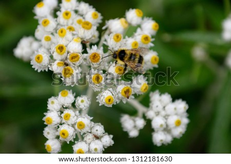 Honey bee on the white and yellow flowers of Pearly Everlasting Aster in the rain