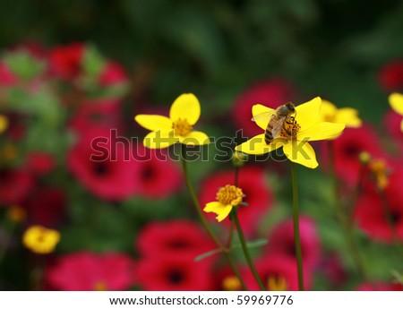 Honey Bee on yellow flower - stock photo
