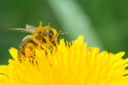 Honey bee on yellow flower in pollen, closeup. Honey bee covered with yellow pollen collecting nectar in flower.