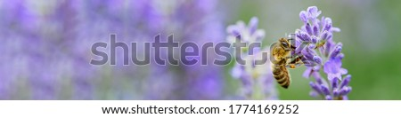 Honey bee pollinates lavender flowers. Plant decay with insects., sunny lavender. Lavender flowers in field. Soft focus, Close-up macro image wit blurred background. Stock photo ©