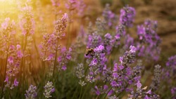 Honey bee pollinates the lavender flowers. Bumblebee pollinates the lavender flowers. Nectar collecting in the province rural areas with endless fields or lavender.  Beautiful wallpaper.