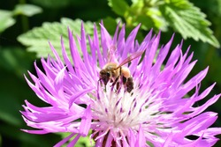 honey bee pollinates wild flowers. The global problem of extinction of bees, Pollination of plants with insects., Soft focus, close-up macro image with blurred background.