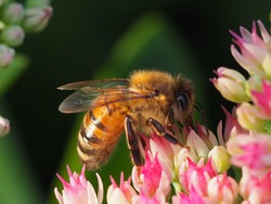 Honey bee pollinating a sedum flower in autumn.
