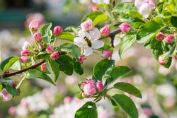 Honey bee pollinating apple blossom. The Apple tree blooms. Spring flowers
