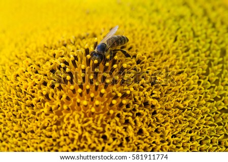 Honey bee pollinating flower. Macro view sunflower seeds and insect searching nectar. Shallow depth of field, selective focus photo