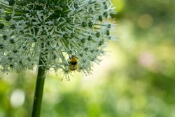 Honey bee pollinating plants in english country garden bumble bee