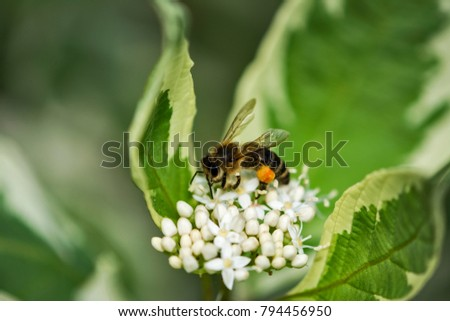 Honey bee with orange pollen basket sitting on white flowers Cornus alba (other names: red-barked, white or Siberian dogwood, dere? bia?y) Zdjęcia stock ©
