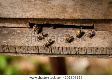 Honey Bees coing out of a hive.