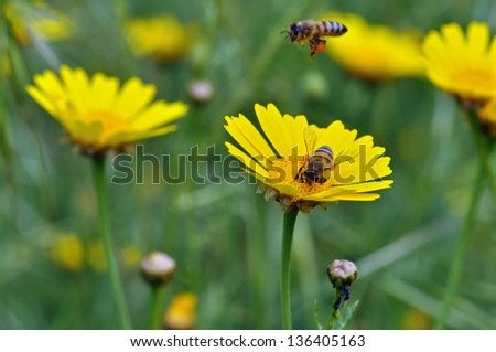 Honey bees collecting pollen in a field of blooming flowers. Springtime background.