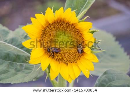 Honey bees enjoying Sunflower fibonacci spiral while gathering nectar