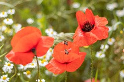 Honey bees fly next to a red poppy on a flower field. Selective focus.