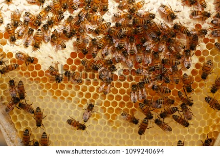 Honey bees kept in a bee box hive on a private farm working making honey on a farm in rural Australia