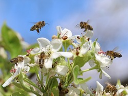honey bees pollinating white blossoms of a pear tree with blue sky background, close up, macro shot of collecting bees