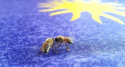 Honey bees under a sun on blue materia co-operatively collecting spilled honeyl.