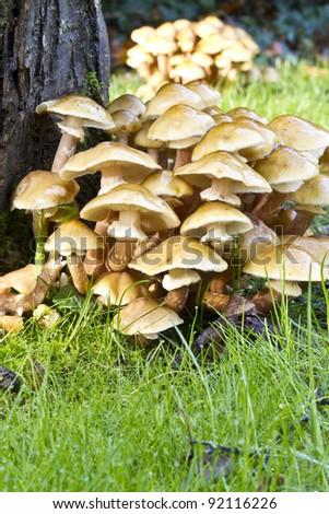 Honey fungus toadstools, it is a destructive parasitic fungus of trees