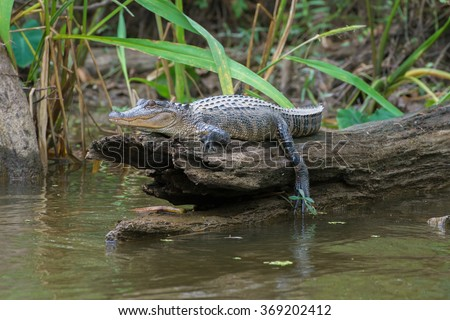 Honey Island Swamp American Alligator